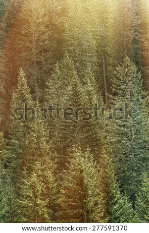 Healthy, big green trees in a forest of old spruce and fir trees in wilderness of a national park, lit by bright golden sun glow. Sustainable industry, ecosystem and healthy environment concepts.  - stock photo