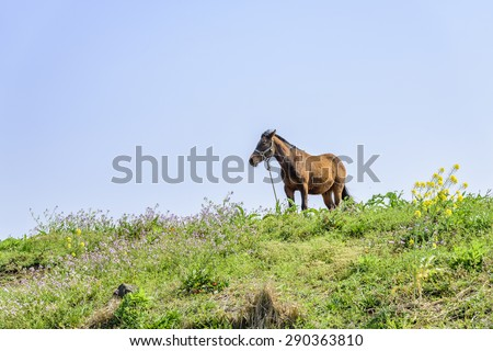 healthy brown horse standing alone on a green hill in Jeju Island, korea.
