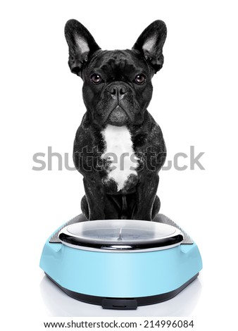 healthy bulldog beside a scale  and bowl and measuring tape around waist isolated on white background - stock photo