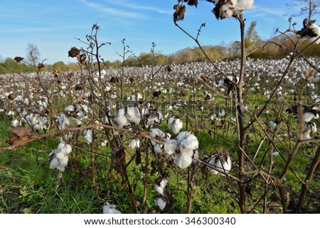 Healthy cotton field in rural Georgia, USA. - stock photo