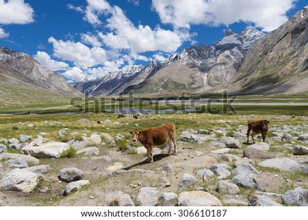 Healthy cows in beautiful India landscape with snow peaks background