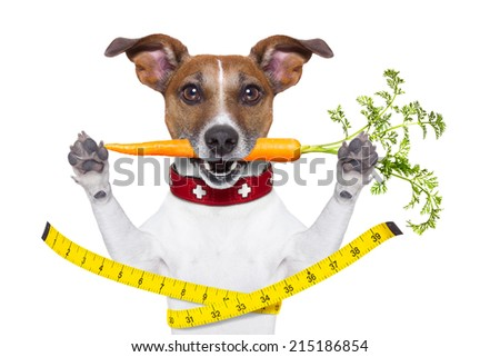 healthy dog  with carrot in mouth and measuring tape around waist isolated on white background - stock photo
