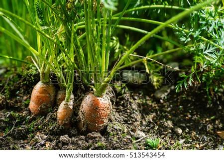 Carrot Garden Stock Images RoyaltyFree Images Vectors