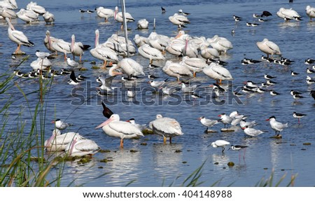 Healthy flock of white pelicans in the Everglades in South Florida. - stock photo