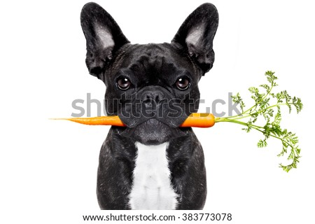 healthy food eating french bulldog with vegan or vegetarian carrot in mouth, isolated on white background - stock photo