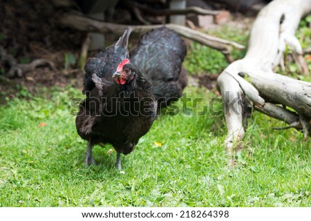 Healthy free range black chickens outside on a farm  - stock photo