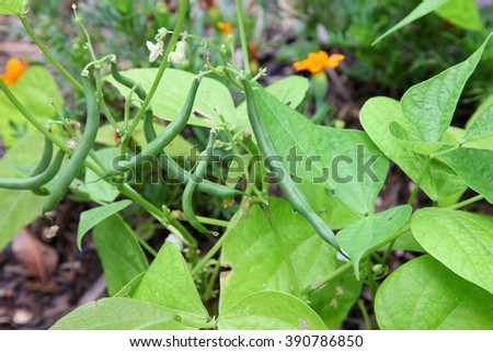Healthy green beans hanging on a bean plant - stock photo