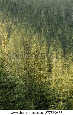 Healthy, green coniferous forest with old spruce, fir and pine trees in wilderness area of a national park, lit by golden sunshine. Sustainable industry, ecosystem and healthy environment concepts.