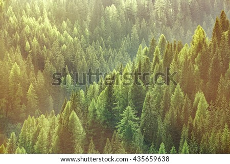Healthy green trees in a forest of old spruce, fir and pine trees in wilderness of a national park, lit by bright yellow sunlight. Sustainable industry, ecosystem and healthy environment concepts. - stock photo