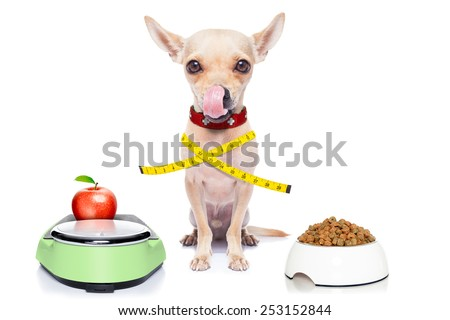 healthy hungry chihuahua dog with bowl and scale , isolated on white background - stock photo