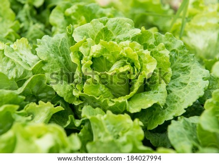healthy lettuce growing in the soil - stock photo