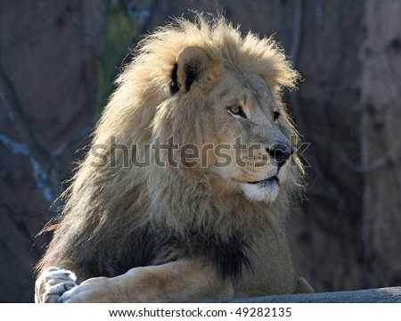 Healthy male lion, King of the Jungle