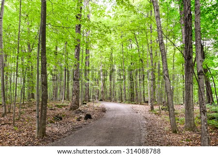 Healthy maple forest pathway during summer with mature tree
