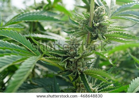 Healthy Marijuana Growing For Use as Alternative Herbal Medicine in a Collective Wellness Garden