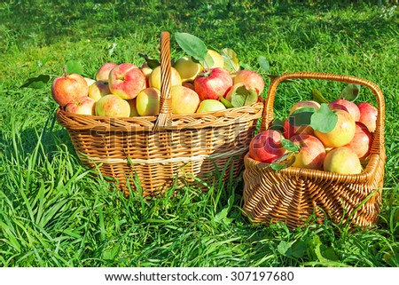 Healthy organic  juicy apples in baskets. Harvesting in orchard .
