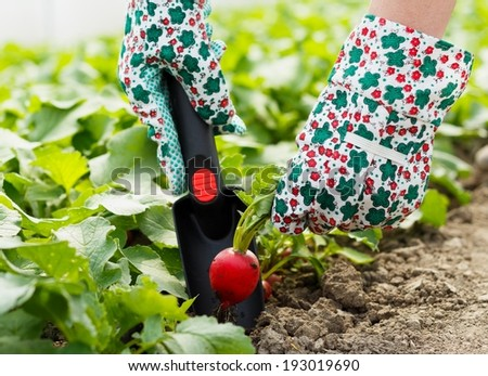 Healthy organic vegetables from glasshouse culture. - stock photo