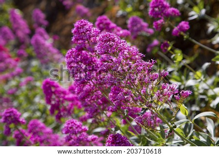 healthy pink buddleia butterfly bush in bloom  - stock photo