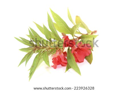 healthy red balsam