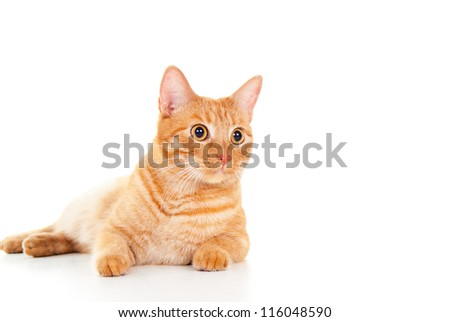 Healthy red cat lying on the floor isolated - stock photo