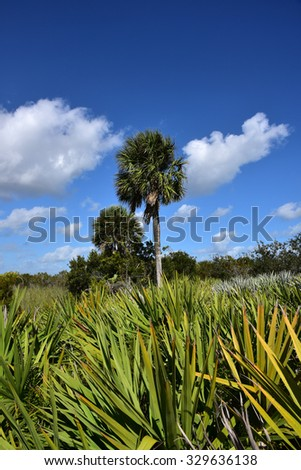 Healthy sabal palm tree in South Florida.  The sabal palm is the state tree of both Florida and South Carolina. - stock photo