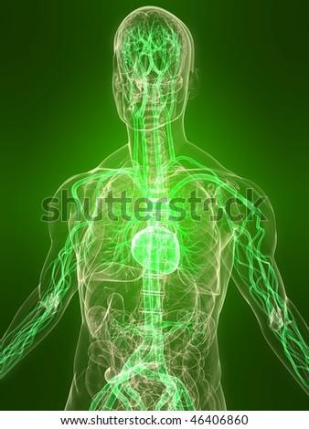 healthy vascular system - stock photo