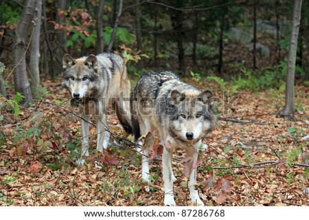 Healthy wild wolf in the woods - stock photo