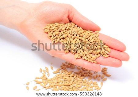Heap of barley grain in hand of woman on white background