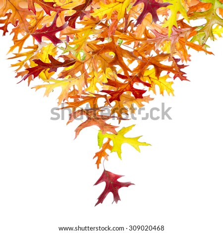 Heap of falling autumn oak leaves isolated on white