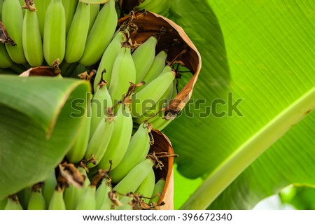 Heap of green Thai banana on tree with greenery background - stock photo
