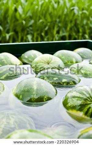Heap of watermelon at farmers market. - stock photo
