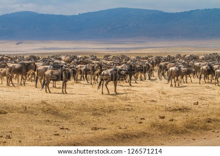 Heard of wildebeest during migration