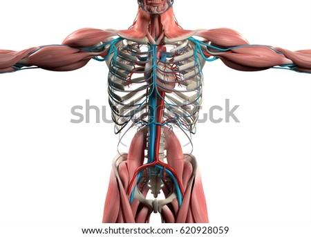 Heart Vascular System Human Anatomy 3 D Stock Illustration 620928059 ...