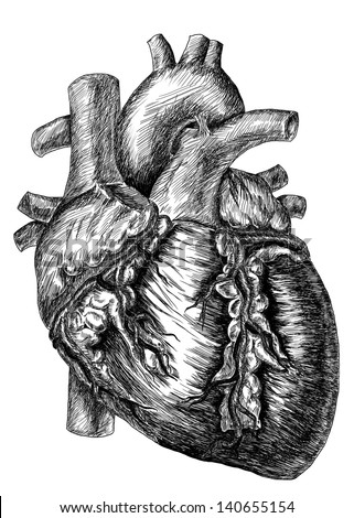 heart drawing on white Human Heart Drawing Black And White