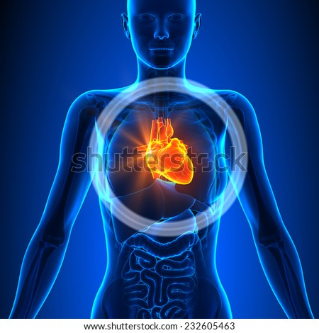 Heart Female Organs Human Anatomy Stock Illustration 232605463 ...