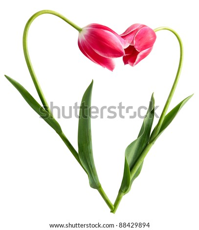 Heart from two tulips on a white background - stock photo