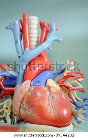 heart model - stock photo
