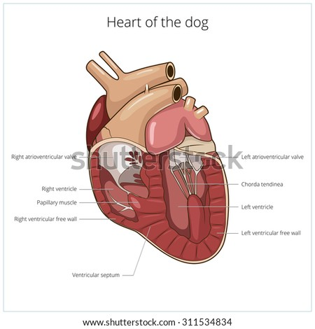 Dog anatomy heart