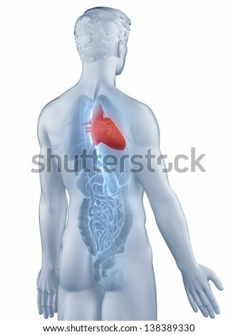 Heart position anatomy man isolated posterior view