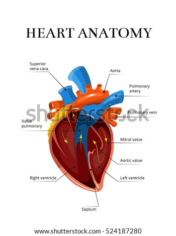 Human heart anatomy stock images royalty free images vectors heart sectional anatomy cardiological illustration medical banner for study of human heart ccuart Gallery