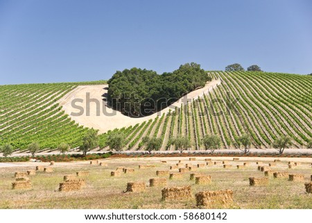 Heart-shaped cluster of oaks amid a California hillside vineyard - stock photo