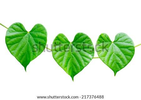 heart shaped green leaf. - stock photo
