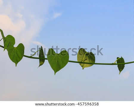 Heart shaped leaves closeup. Vine of heart shaped leaves. - stock photo