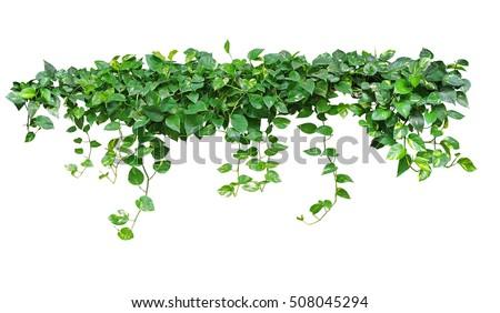 Heart shaped leaves vine, devilu0027s ivy, golden pothos, isolated on white  background,