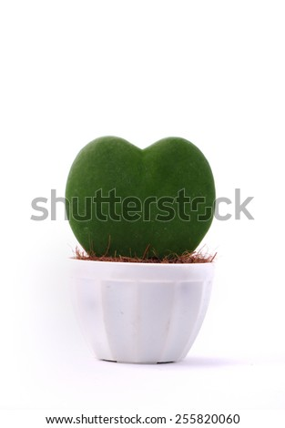 Heart-shaped plant in a flower pot isolated   - stock photo