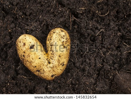 heart shaped potato lying on the garden soil in bright daylight  - stock photo