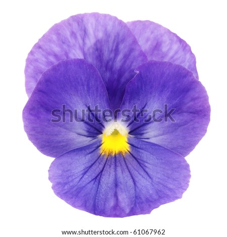 heartsease on white background