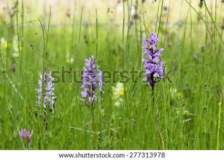 Heath spotted orchid, Dactylorhiza maculata - stock photo