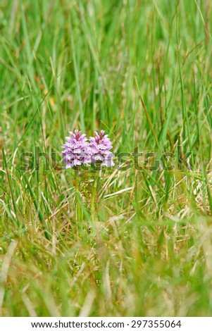 Heath spotted orchid, Dactylorhiza maculata, due to windswept conditions on Geokaun it has adapted itself by only growing to 15-20cms high half of what it would grow elsewhere it likes damp acid soils - stock photo