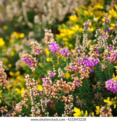 Heather and yellow gorse flower closeup in Brittany, France - stock photo