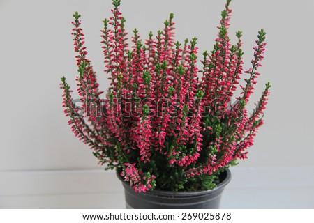 Heather flower - stock photo